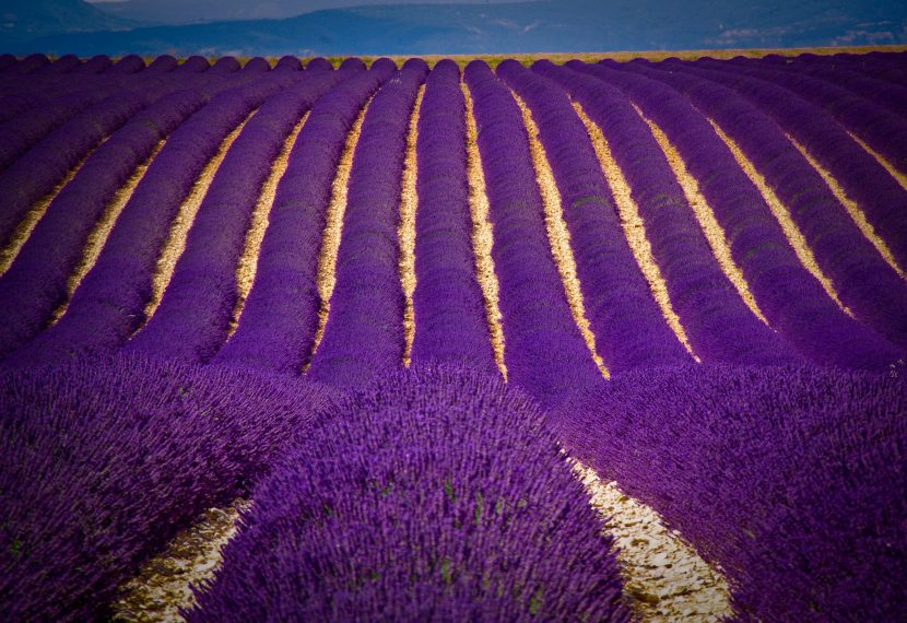 Lavander fields Croatia
