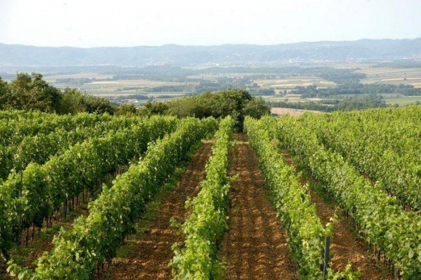 vineyard slavonia